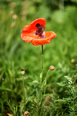 DSC_1197be (Katinka Irrlicht) Tags: mohnblume poppy blume wiesenblume wiese grassland meadow