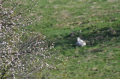 expectant ewe and blossoms (Sheeps and Peeps Farm) Tags: spring crabapple ewe inthepasture