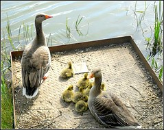 Noddle Hill Geese .. (** Janets Photos **) Tags: uk geese lakes goslings hull naturereserves noddlehill