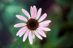 Coneflower noy yet formed (Pensive glance) Tags: plant flower nature fleur plante echinacea coneflower chinace