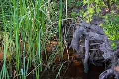 Elephant Roots (Gabriel FW Koch) Tags: trees sun sunlight reflection nature water grass canon river eos oak dof roots telephoto bark treebark cypress treeroots lseries tanin