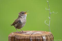 Planting A Flag (Tom's Macro and Nature Photographs) Tags: birds montana singing nest wrens troglodytes springtime naturephotography housewren birdphotography