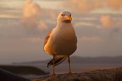 Ala rota (Contando Estrelas) Tags: españa broken spain gull wing aves pájaros galicia ave ala nubes gaviota pájaro baiona bayona rota ríadevigo