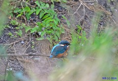 DSC_0098n wb (bwagnerfoto) Tags: alcedo atthis eisvogel common kingfisher jgmadr regly pacsmag nature bird madr vogel lake pond outdoor animal fauna