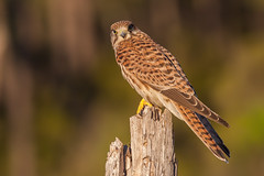 Common Kestrel @my hide