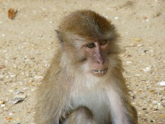 Koh Panak (Sea Kayaking), Thailand (Jan-2016) 21-041 (MistyTree Adventures) Tags: kohpanak kohpanakisland aophangnganationalpark seasia thailand phuket panasoniclumix outdoor phangngabay animal monkey macaque macaquemonkey