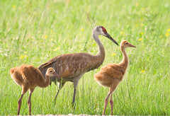 Momma crane with her colts on a very sunny afternoon (LastBestPlace) Tags: sandhillcranes colts wisconsin janekaufman