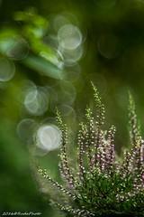 wrzos (RudaPhoto) Tags: atclose flower kwiaty blossom closeup petals macro spring macrodream macrophoto macrophotography makro nature garden ogrd zblienie poland meadow polska diaplan projectorlens poortrioplan bokeh nikon diaplan80mm28 nikond7100 d7100