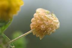 verblüht 1 (DianaFE) Tags: dianafe blume blüte wildkraut wiesenblume tropfen regen makro tiefenschärfe schärfentiefe