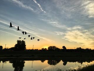 Geese at sunrise
