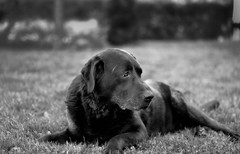 just another picture of my best friend... (Croosterpix) Tags: dog dogs blackwhite nikon labrador nikkor fx f28 80200 d610