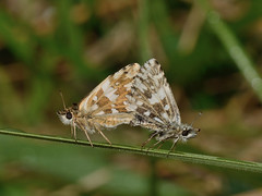 Grizzled Skipper (Severnrover) Tags: nature grass butterfly insect pattern wildlife pair skipper lepidoptera breeding mating grizzled underwing
