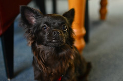Tyr (Mientsje) Tags: dog 6 pets chihuahua black cute animal animals hair puppy long hond chi months tyr chwawa