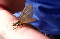 mayfly (menchuela) Tags: mayfly menchuela