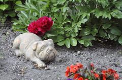 Wachhund (borntobewild1946) Tags: dog blumen hund nrw nordrheinwestfalen rheinland figur vorgarten mnchengladbach treu brav lieb gartenfigur copyrightbyborntobewild1946