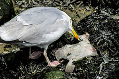 Sea Gull's Catch (L Harmer Photography) Tags: sea food fish bird dinner canon photography is fishing eating gull h eat snack l catch hungry supper peck beack sx500