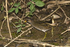Franga-d'agua-grande / Spotted Crake / (Porzana porzana) (Srgio Guerreiro) Tags: spottedcrake porzanaporzana frangadaguagrande