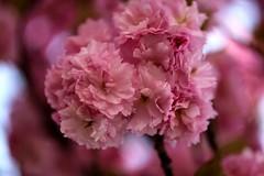 Pink Bokeh ... On Explore ( #55 22 May 2015 ) (Sa Mu) Tags: life pink light flower blossom bokeh rosa fiori