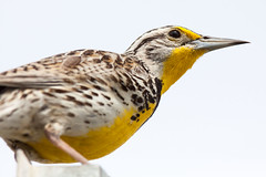 Western Meadowlark (judd.furlong) Tags: