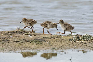 Redshank fledgelings (Tringa totanus)
