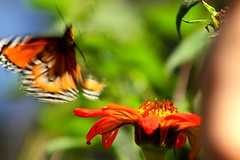 Mariposa el movimiento (Govinda John) Tags: naturaleza nature canon echinacea movimiento mariposa canont5i
