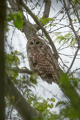 Barred Owl in Coverage (SaunTek) Tags: bird nature wildlife owl barred
