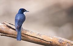 "a ""sissors grinder"" (Fat Burns  (gone bush)) Tags: bird fauna flycatcher australianbird smallbird barcaldine restlessflycatcher australianfauna myiagrainquieta aliceriver nikond610 sigma150600mmf563dgoshsmsports"