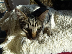 Masai Hiding !!! (Mara 1) Tags: pet face animal cat nose eyes kitten stripes tabby ears indoors rug