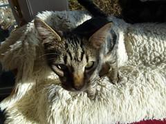 Masai Hiding !!! (Mara 1) Tags: pet face animal cat nose eyes kitten stripes tabby ears indoors rug