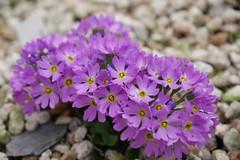 /Primula modesta var.fauriei (nobuflickr) Tags: flower nature japan kyoto   thekyotobotanicalgarden  awesomeblossoms   primulamodestavarfauriei 20160410p1050250