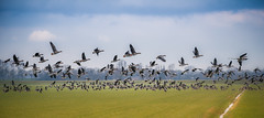 Ultimate coordination (Ingeborg Ruyken) Tags: winter river flying geese inflight flickr nederland thenetherlands meadow ganzen maas waterfowl polder takeoff dropbox weiland rivier 2015 vliegen natuurfotografie 500pxs