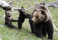 Kids these days (jrlarson67) Tags: bear wild brown cute nature animal cub nationalpark furry wildlife yellowstone cubs wyoming grizzly paws claws