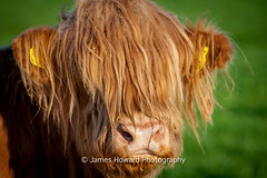DSC_0347-2 (jameshowardphotography) Tags: portrait orange grass animal yellow tongue mouth hair scotland ginger cow close cattle farm yorkshire tags highland friendly length northyorkshire pickering