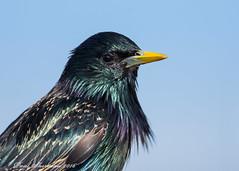 Starling (muppet1970) Tags: bird nature wildlife profile starling iridescent