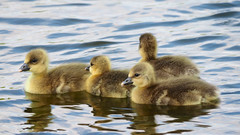 Early Days.......... (klythawk) Tags: nottingham blue brown white lake black nature yellow reflections grey spring babies fluffy goslings troutlake greylag colwickpark klythawk