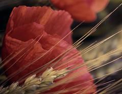 estate (lauretta michelutti) Tags: estate fiore rosso