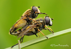 Making more Hoverflies (James Lees Photography) Tags: macro nature insect insects gloucestershire wetlands britishwildlife hoverfly slimbridge flyinginsect hoverflies wildfowlwetlandtrust