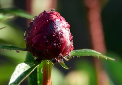... and a top droplet (:Linda:) Tags: germany village thuringia peony droplet pfingstrose brden