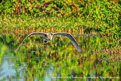 Not having the best photography day this day! (NancySmith133) Tags: greatblueheron orangecountyfl centralfloridausa lakeapopkanorthshorewildlifedrive