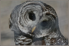 <> Curious Barred Owl - I. <> (Wolverine09J ~ 1 Million + Views) Tags: exhibit raptor barredowl naturecenter friendsforever owlcloseup heartawards avianwildlife thelooklevel1red westwoodhillsnc16