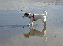 Reflection and shadow (Fijgje On/Off) Tags: shadow dog reflection beach animal strand sand jrt sophie hond terrier hund jackrussell schaduw ouddorp zand spiegeling fijgje juni2016 panasonicdmctz60 febr2016