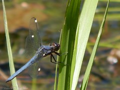 Spangled Skimmer (Libellula cyanea) (goldeagle_60) Tags: lebanon pennsylvania outdoors nature wildlife insects robber fly
