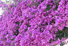 Purple Bougainvillea! ('cosmicgirl1960' NEW CANON CAMERA) Tags: travel flowers green nature gardens spain holidays parks bougainvillea espana costadelsol andalusia marbella yabbadabbadoo worldflowers