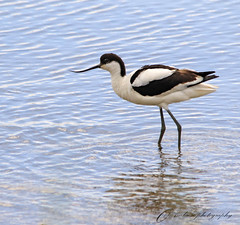 avocet (~ **Barbara ** ~) Tags: wild sky nature water birds wildlife norfolk reserve conservation sigma knots avocet titchwell rspb 150500 canon7dii