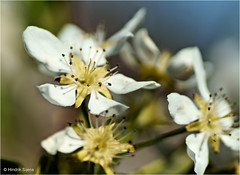 Pear Blossom (Hindrik S) Tags: pear par peer parrebeam perenboom peartree blossem bloesem blom flower bloem tree beam boom macro skepping schepping creation schpfung 90mm tamronspaf90mmf28dimacro tamron sonyphotographing sony sonyalpha 57 slta57 a57 closeup f28 14000 iso100 nature natuur natuer naturesfinest harvest soe