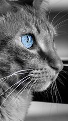 Cat Capit (Marcos Simanovic) Tags: cat cats pet pets feline felines felina felino animal animals animaldeestimao nikon nikond5300 simanovic marcossimanovic