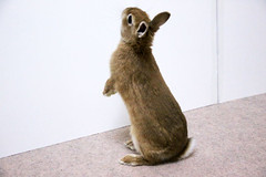 Ichigo san 302  (mensore) Tags: brown bunny cute ichigo netherlanddwarf rabbit