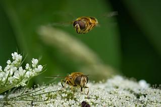 Brautwerbung der Keilfleckschwebfliegen auf der Blüte der Wilden Möhre