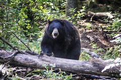 out of hiding (ucumari photography) Tags: ucumariphotography north carolina nc zoo july 2016 ursusamericanus americanblackbear bear animal mammal oso dsc8674 specanimal specanimalphotooftheday