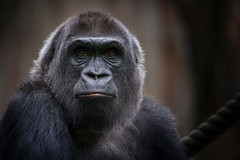 MOMO (gosammy1971) Tags: affen altweltaffen animal apes augen duisburg eyes fell fur gorilla hominidae menschenaffen metabones momo stuttgart sony zoo black lowland primate portrait availablelight tamron explore flickr new schwarz mapema ayo explore20160809